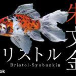ブリストル朱文金の飼い方/金魚・飼育・えさ・病気・種類
