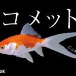 コメットの飼い方/金魚・飼育・えさ・病気・種類
