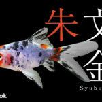 朱文金の飼い方/金魚・飼育・えさ・病気・種類
