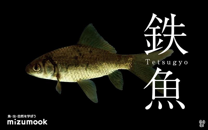 鉄魚の飼い方/金魚・飼育・えさ・病気・種類