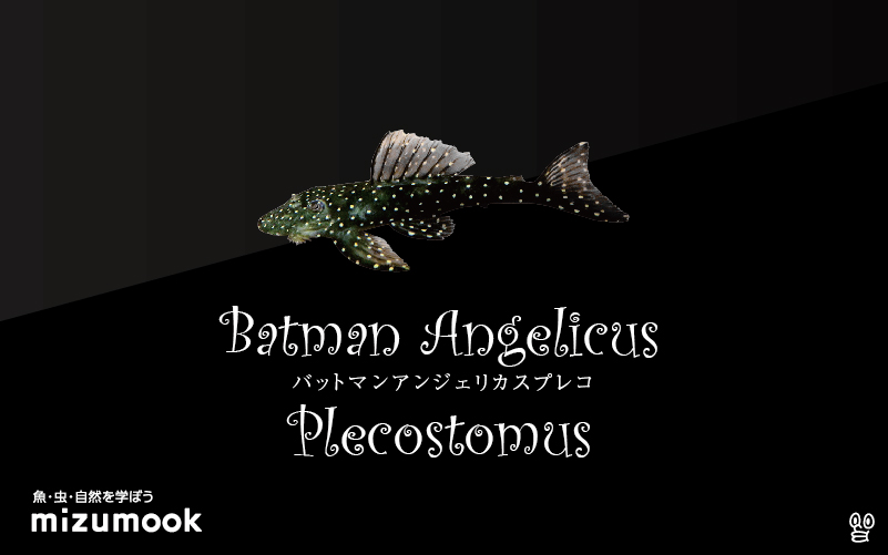 バットマンアンジェリカスプレコの飼い方/飼育・混泳・繁殖