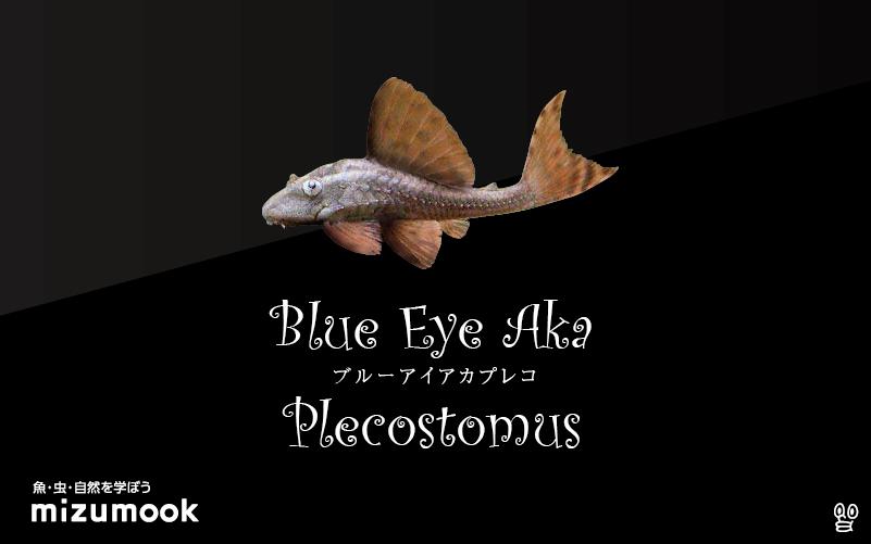 ブルーアイアカプレコの飼い方/飼育・混泳・繁殖