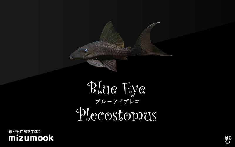 ブルーアイプレコの飼い方/飼育・混泳・繁殖