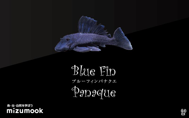 ブルーフィンパナクエの飼い方/飼育・混泳・繁殖