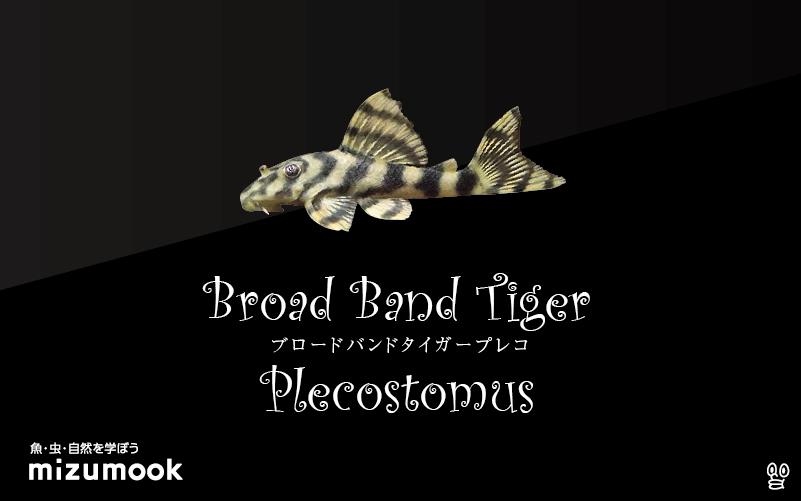 ブロードバンドタイガープレコの飼い方/飼育・混泳・繁殖