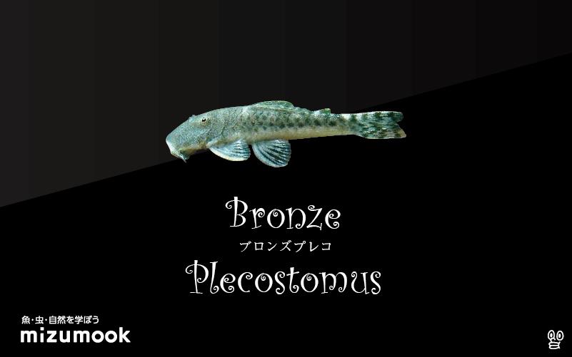 ブロンズプレコの飼い方/飼育・混泳・繁殖