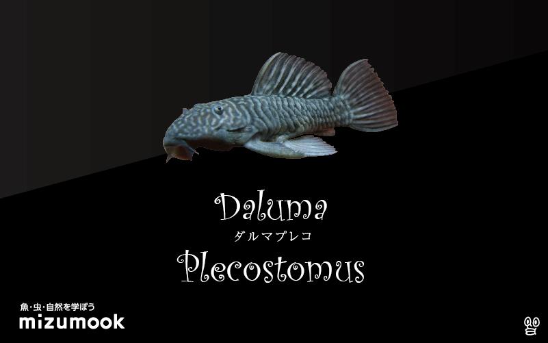 ダルマプレコの飼い方/飼育・混泳・繁殖