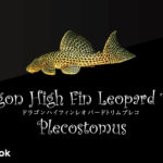 ドラゴンハイフィンレオパードトリムプレコの飼い方/飼育・混泳・繁殖