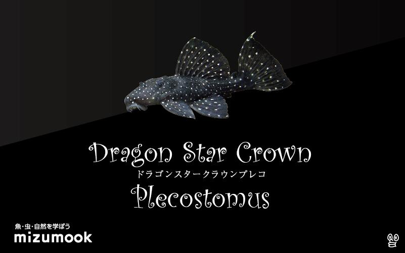 ドラゴンスタークラウンプレコの飼い方/飼育・混泳・繁殖