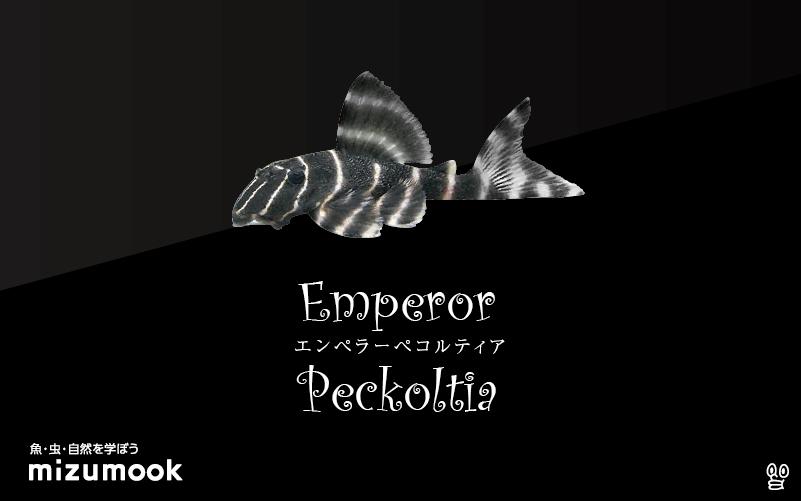 エンペラーぺコルティアの飼い方/飼育・混泳・繁殖