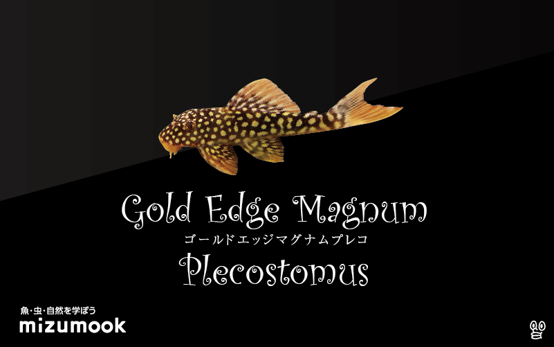 ゴールドエッジマグナムプレコの飼い方/飼育・混泳・繁殖