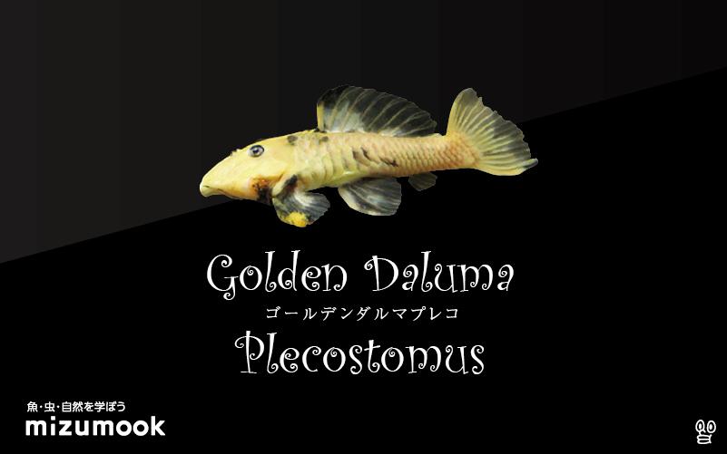 ゴールデンダルマプレコの飼い方/飼育・混泳・繁殖
