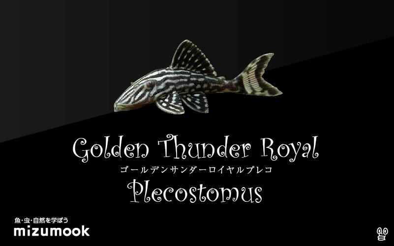 ゴールデンサンダーロイヤルプレコの飼い方/飼育・混泳・繁殖