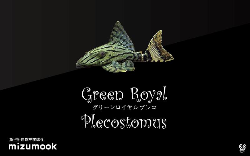 グリーンロイヤルプレコの飼い方/飼育・混泳・繁殖