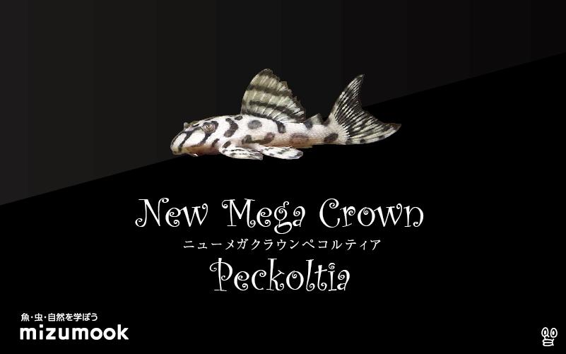 ニューメガクラウンぺコルティアの飼い方/飼育・混泳・繁殖・プレコ