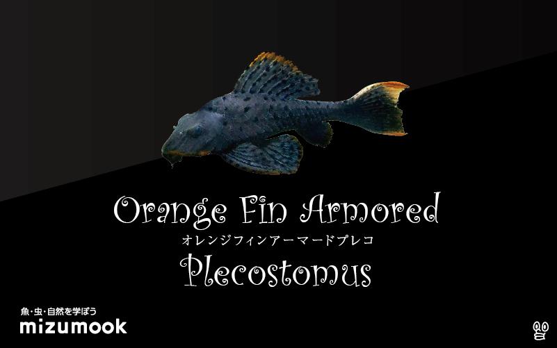 オレンジフィンアーマードプレコの飼い方/飼育・混泳・繁殖