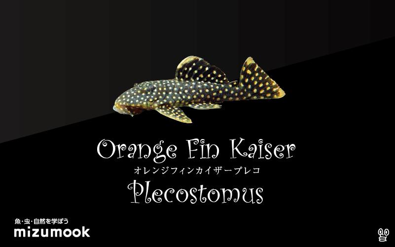 オレンジフィンカイザープレコの飼い方/飼育・混泳・繁殖