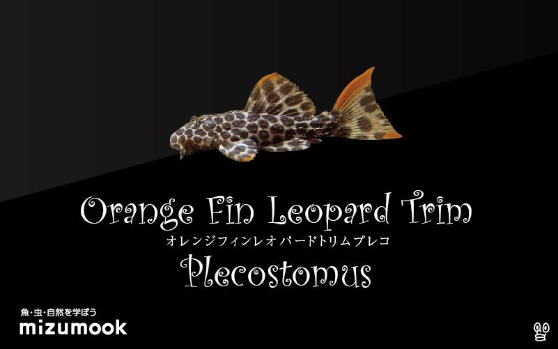 オレンジフィンレオパードトリムプレコの飼い方/飼育・混泳・繁殖