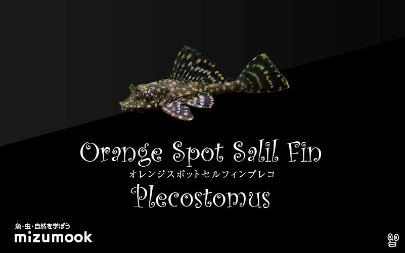 オレンジスポットセルフィンプレコの飼い方/飼育・混泳・繁殖