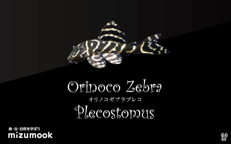 オリノコゼブラプレコの飼い方/飼育・混泳・繁殖