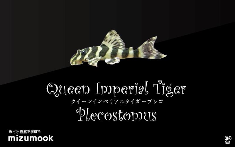 クイーンインペリアルタイガープレコの飼い方/飼育・混泳・繁殖