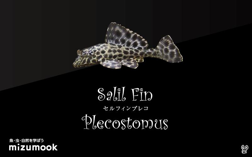 セルフィンプレコの飼い方/飼育・混泳・繁殖