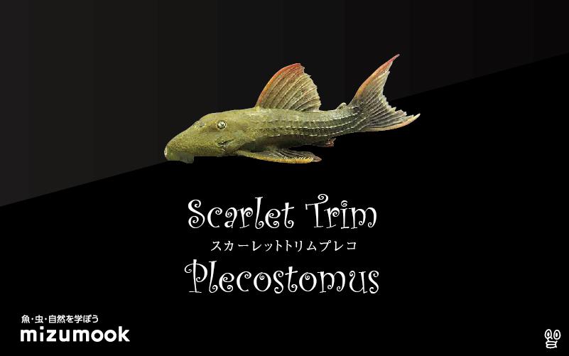 スカーレットトリムプレコの飼い方/飼育・混泳・繁殖