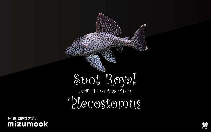スポットロイヤルプレコの飼い方/飼育・混泳・繁殖