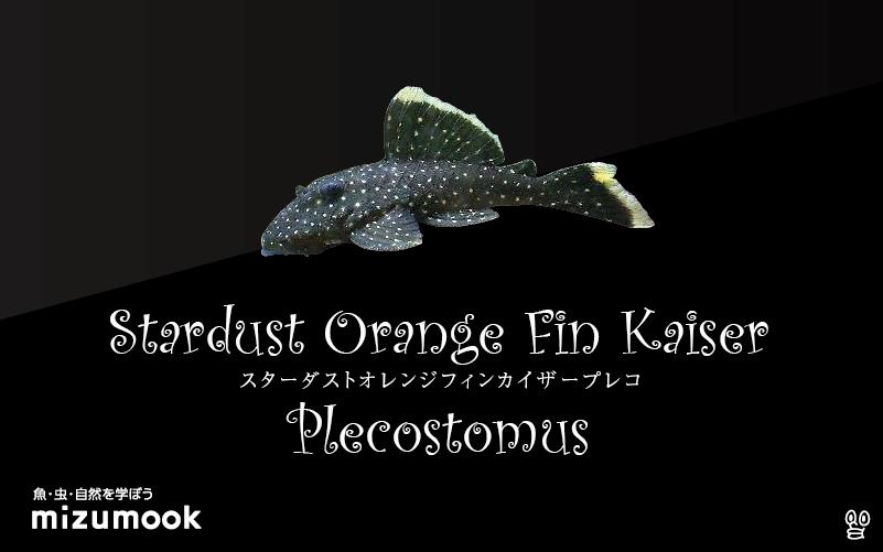 スターダストオレンジフィンカイザープレコの飼い方/飼育・混泳・繁殖