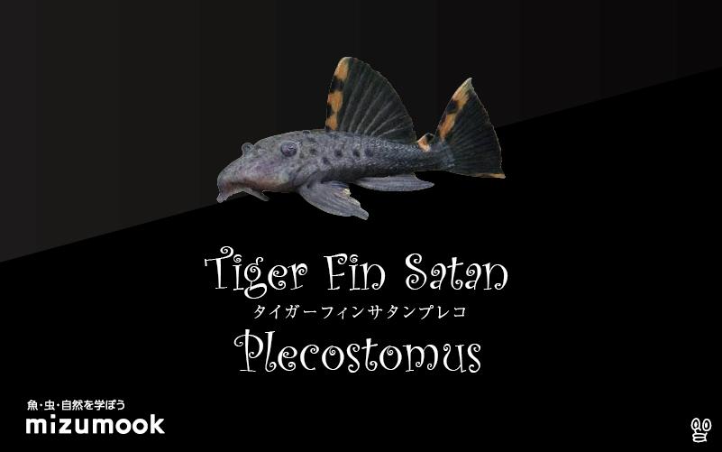 タイガーフィンサタンプレコの飼い方/飼育・混泳・繁殖