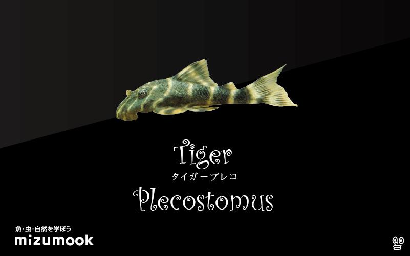 タイガープレコの飼い方/飼育・混泳・繁殖