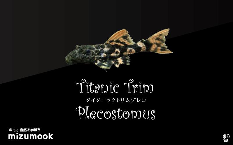 タイタニックトリムプレコの飼い方/飼育・混泳・繁殖